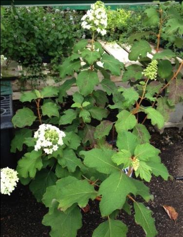 hydrangeas for american gardens